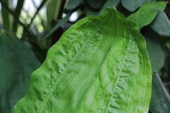 Gęsty roślina liść zdjęcia stock