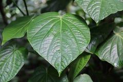 Gęsty roślina liść obrazy stock
