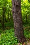 Gęsty stary drzewny bagażnik obraz stock