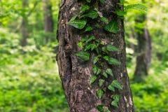 Gęsty stary drzewny bagażnik zdjęcia royalty free