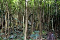 Gęsty tropikalny las deszczowy obrazy stock