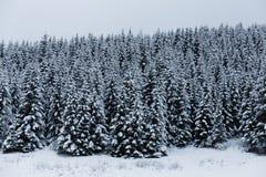 Gęsty wiecznozielony las w zimie fotografia royalty free