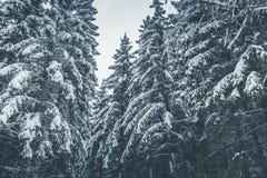 Gęsty wiecznozielony las w zimie obraz royalty free