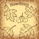 Głóg owoc i liści piktogramy Fotografia Royalty Free