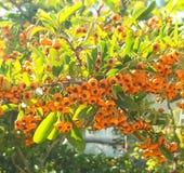 Głóg, zadziwiający pomarańczowy haw, zdrowy jedzenie obraz royalty free