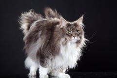 Główna coon kota pozycja Zdjęcie Royalty Free