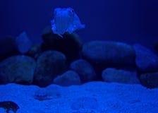 Głębinowa kałamarnica Zdjęcia Stock