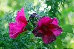 Głębocy fiołków kwiaty Zdjęcia Stock