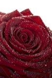 głęboka rosy kropel kwiatu czerwień wzrastał Zdjęcia Stock