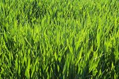 głęboka trawy. Zdjęcia Stock