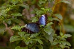 Głęboki błękitny i czarny motyl fotografia stock