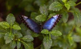Głęboki błękitny i czarny motyl obraz royalty free