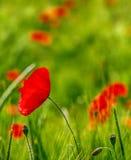 Głęboki - czerwoni maczki w jaskrawym - zielenieje zamazanego pole uprawne Fotografia Royalty Free