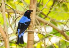 Azjatycki bluebird Zdjęcia Stock