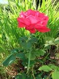 Głęboki - menchii róża zdjęcia stock