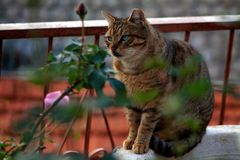 Głęboki niebieskie oko kot fotografia stock