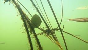 Głęboki nur w rzece z algami i dłoniakiem zbiory
