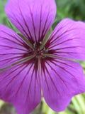 Głęboki - purpura kwiat Zdjęcie Stock