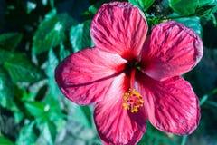 Głęboki - różowa kwiat Gumamela zamazująca out zieleń opuszcza Zdjęcie Stock