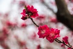 Głęboki - różowy śliwkowy okwitnięcie na gałąź Fotografia Royalty Free