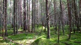 Głęboki rosyjski las zbiory
