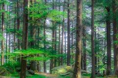 głębokie lasu Lesisty lasowych drzew złoty światło słoneczne przed zmierzchem z słońce promieniami nalewa przez drzew na lasowym  Obrazy Royalty Free