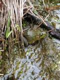 głębokość na oko się pola żaby ogniska refleksje płycizny drzewa czerwona woda Zdjęcia Stock