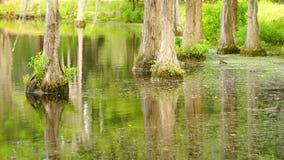 Gładka woda Odbija Cyprysowych drzewa w bagna Bagno jeziorze zbiory