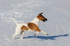 Gładki Fox Terrier biega na płaskiej śnieg powierzchni szkolenie Fotografia Stock