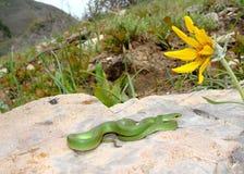 gładki zieleń wąż Fotografia Royalty Free