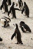 Głaz plaża w Simonstown Południowa Afryka z pingwinami Fotografia Stock