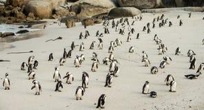 Głaz plaża w Simonstown Południowa Afryka z pingwinami Zdjęcie Royalty Free