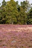 Głaz w przedpolu z kwitnącym wrzosowiskiem, brzozy i conifers w tle przy dniem zdjęcie stock