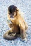 Głodna Capuchin małpa je obiad na ziemi Fotografia Royalty Free