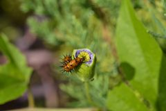 Głodna gąsienica je kwiatu zanim ono kwitnie Fotografia Royalty Free