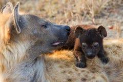 Głodna hiena szczeni się pijący mleko od matki wykarmia Obraz Royalty Free