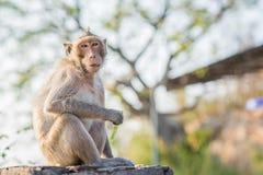 Głodna małpa je Zdjęcie Royalty Free