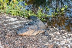 Głodni aligatorów czekania dla lekkomyślnie turystów w Brazos Zginają stanu parka blisko Houston, Teksas Zdjęcia Royalty Free