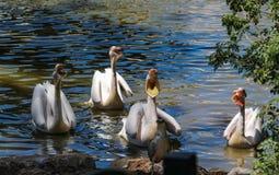 Głodni pelikany pytają dla ryby w Izrael zdjęcie royalty free