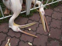 Głodni pelikany w zoo chwytają z belfrów kawałkami chleb Zdjęcia Royalty Free