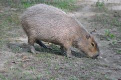 Głodny capibara zdjęcia stock