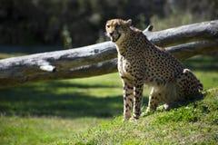 Głodny gepard fotografia stock