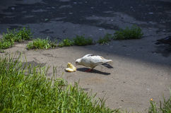 Głodny gołąb je chleb Zdjęcie Stock