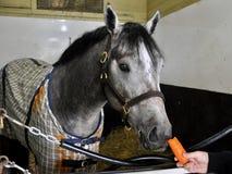 Głodny koń Fleetphoto zdjęcia royalty free