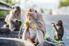 Głodny małp jeść Zdjęcia Royalty Free