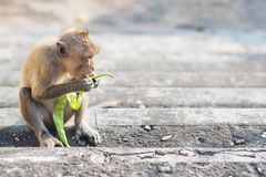Głodny małpi czekanie dla więcej foods Fotografia Royalty Free