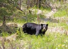 głodny niedźwiedź Zdjęcie Royalty Free
