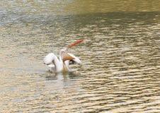 Głodny pelikan z usta szeroki rozpieczętowanym, pokazywać swój gardło kieszonkę Obraz Royalty Free