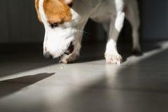 Głodny pies je karmowe kruszki od podłogi w domu fotografia royalty free