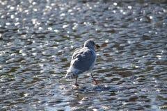Głodny seagull zdjęcia stock